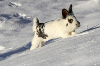 "Hase ""Olly"" im Schnee"